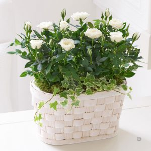Cream Rose planted basket